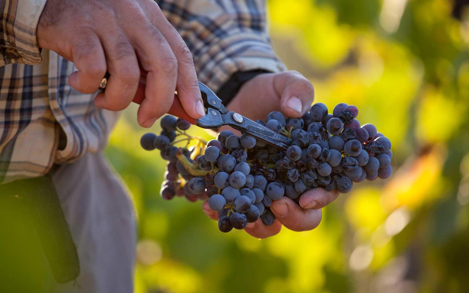Vinya garnatxa priorat